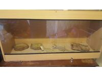 2 bearded dragons with full setup
