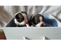 Boston terrier puppies. Last 2 left