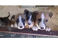 bearded collie greyhound X whippet pups