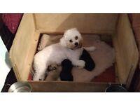 Chonzer pupies