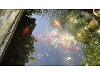 Lovely small pond and five goldfish