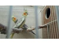 Cockateil pair £50 with cage £60