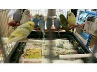 Budgies (young)
