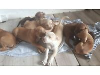 Bullie puppies for sale.