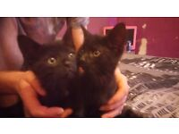 Gorgeous baby kittens for sale