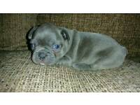 Blue French bulldog female puppy