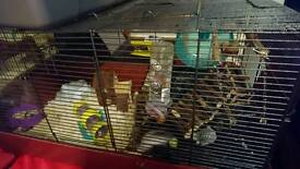 Roboski dwarf hamster with large cage and accessories