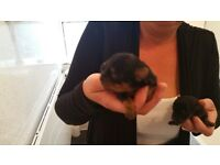 Yorkshire Terrier Puppys (Vet Checked,Micro Chipped,1st Injection,Full Treatments & Papers) LooK