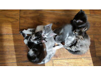 Adorable, Playful, Pretty Kittens for sale in Pairs