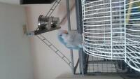Adorable Blue Quaker 3 months old very friendly