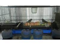 Zibra birds