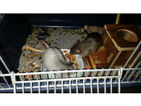 2 beautiful boy rats for sale, through no fault of their own , really well handled and tame