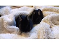 2 baby netherland rabbits for sale