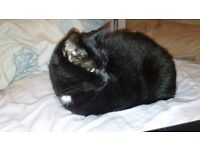 Still missing. male black cat beechwood newport, white patch on throat, shaved area on left leg