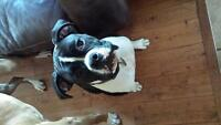 8 month old female boxer