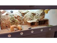 Bearded Dragon (9 month old Citrus Red Leatherback) and Custom Vivarium + all equipment