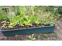 Strawberry plants in big pot