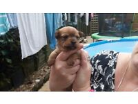 Chorkie x jack russel puppies 1 dog 2 bitches 1 black 2 tan patents can be seen.