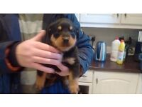 Beautiful Rottweiler Pups only 3 remaining. 2 boys 1 girl