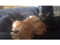 2 male ginger kittens available