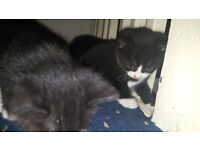 8 weeks kittens for sell