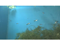 Guppy Fry - Guppies - Tropical Fish