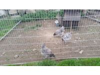 3 bluebell hens point of lay and 1 rooster