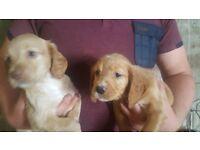 Spocker Spaniel puppies