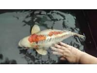 Koi carp large