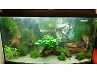 Red cherry shrimps 20 for £15