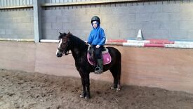 welsh sect A pony for sale