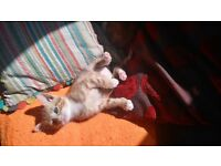 Ginger male kittens for sale