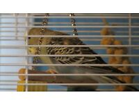 lost blue budgie riddrie