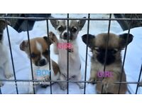 CHIHUAHUA PUPPYS **NOW READY TO LEAVE**