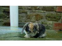 mini dwarf lop male