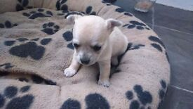 Chihuaha boy puupy