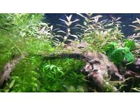 Plants for fish tank: hornwort, hygrophila, crypts, wisteria, Bacopa, java moss, elodea, tall grass