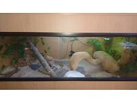 Bearded dragon for sale (100)
