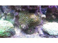 zoas for marine aquarium