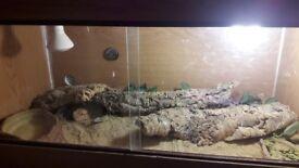 Male bearded dragon and vivarium set up