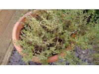 THYME PLANT (Herb)