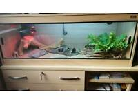 Bearded Dragon with Vivarium