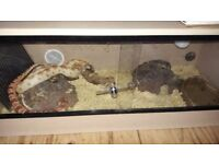 2 female corn snakes , 3ft viv , 2 rock caves , 2 heat mats , lamp , water dish thermometer