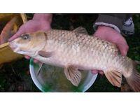 4 big carp fish for a new home