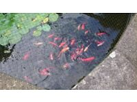 pond fish various 4-8 inches