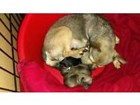 T-cup chihuahua puppies