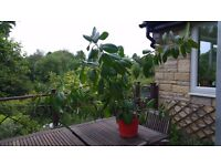 """Great Feature Large Healthy Rubber plant 45"""" x 60""""- Ficus Elastica Rubusta- good home needed"""