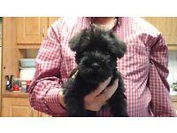 Black Full- Bred Schnauzer Puppy For Sale - FEMALE