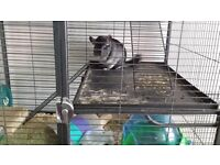 Chinchillas both male in need of rehoming to a loving home.