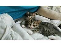 1 male kitten left (offers)